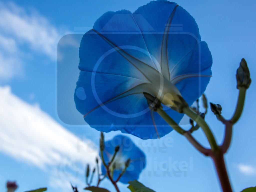 Himmelblaue Prunkwinde