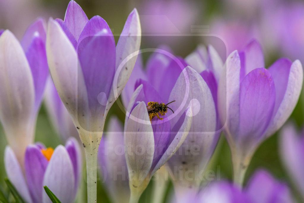 eine Wildbiene